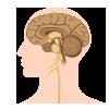 Santé du cerveau, des nerfs et de la mémoire